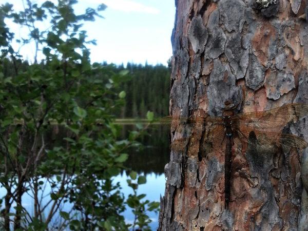 Ruskoukonkorento (Aeshna grandis)